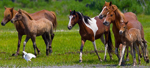 The Wild horses of Assateague Island