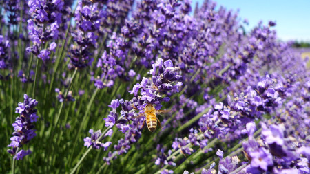 Lavender festival in Sequim