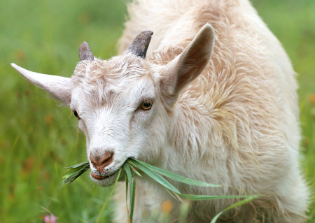 Origins of common idioms Get your goat